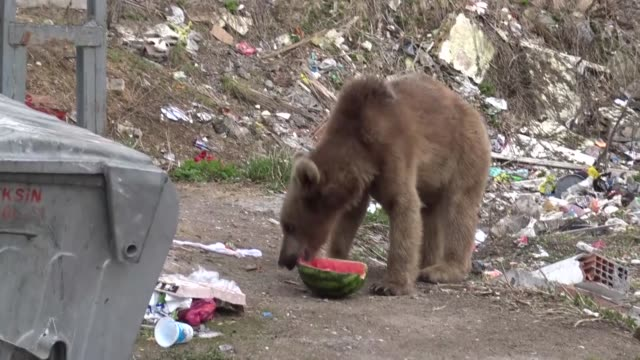 various shots as a brown near seeks food from dumpster in city center in turkey's northeastern kars province on may 07 2019 citizens record video of... - kars stock videos & royalty-free footage