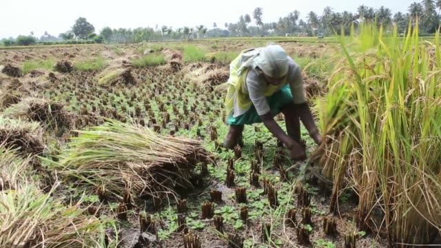 various shots farm workers cut and collect rice during a crop harvest in paddy fields near thimmapuram tamil nadu india on thursday nov 14 various... - strohhut stock-videos und b-roll-filmmaterial