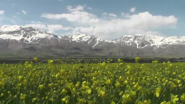 "various shots from buttercups a.k.a. ""ranunculus"" which give yellow sheen to meadows of arel village in tunceli eastern turkey on may 20, 2019. - ranunculus stock videos & royalty-free footage"