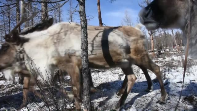 various shots from dukha people in tsagaannuur county of the khovsgol region of northern mongolia on february 16 2019 the dukha are a small tuvan... - independent mongolia stock videos & royalty-free footage