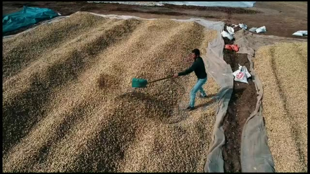 Various shots from peanut harvest in Adana southern province of Turkey on November 03 2018