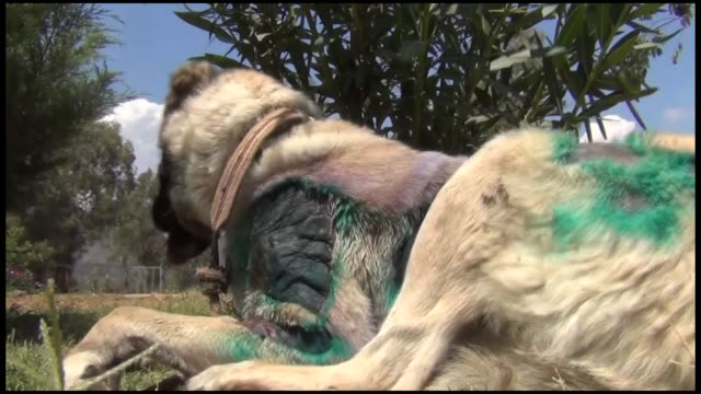 various shots from the dog badly mistreated by its previous owner undergoes treatment at fethiye municipality animal care center on july 27 2018 in... - mugla province stock videos and b-roll footage