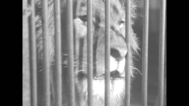 various shots lioness licking her cubs behind cage bars / various shots lion with cubs / lion and cub in profile / lion and cubs / cub / lioness /... - animal head stock videos & royalty-free footage