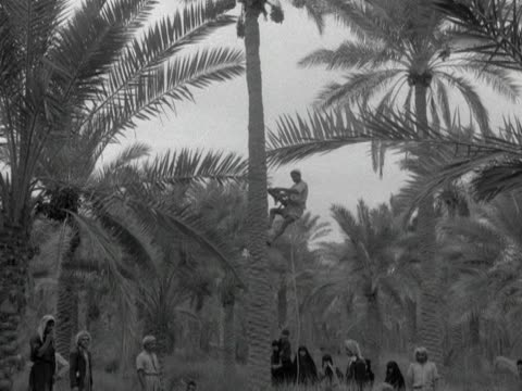 various shots of a man climbing a date palm to harvest a crop of dates iraq - iraq stock videos & royalty-free footage