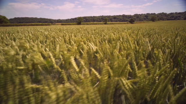 stockvideo's en b-roll-footage met various shots of a wheat field on a sunny day - cereal plant