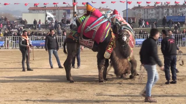 vidéos et rushes de various shots of camels during the camel wrestling festival in western aydin province of turkey on december 22 2018 the two thousandyearold... - lutte concepts
