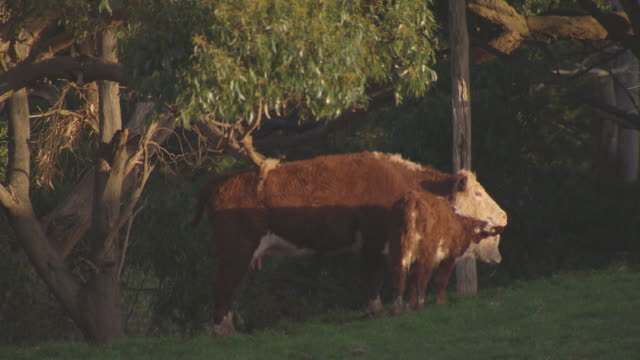 various shots of hereford cows and calves grazing on green pastures bordered by fence posts surrounded by green hills / cow scratching it back on a... - fence stock videos & royalty-free footage