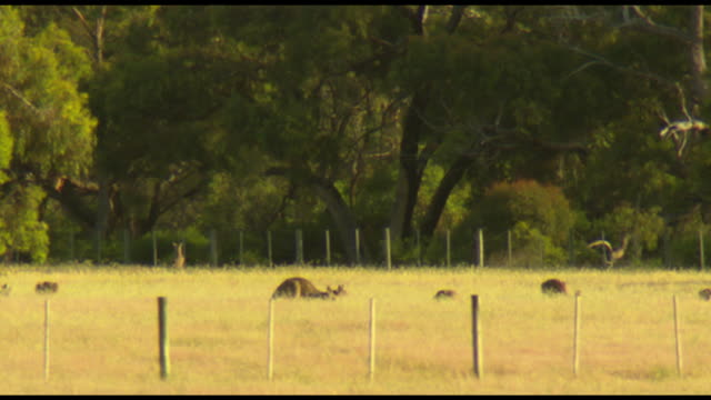 vidéos et rushes de various shots of kangaroos grazing, sitting and hopping in a brown grass paddock with bushland behind - kangourou