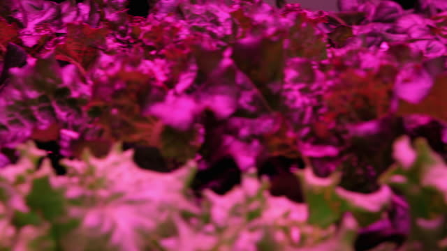 Various shots of lettuce plants growing under blue and red lights in an indoors warehouse farm