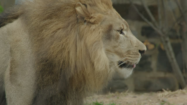various shots of lions at zoo - captive animals stock videos & royalty-free footage