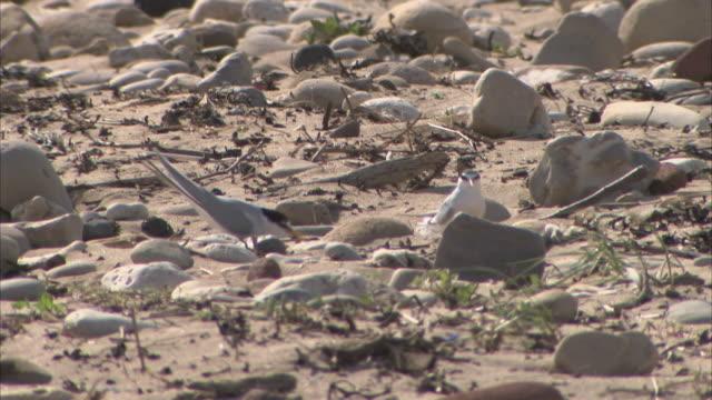 Various shots of Little Terns on a beach in Suffolk