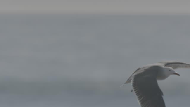 vídeos de stock e filmes b-roll de various shots of seagulls on ocean beach at water line - ave marinha