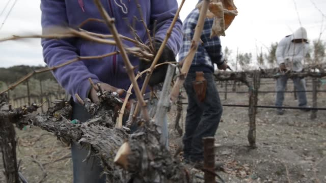 various shots of the drought impact in the winemaking region of paso robles california on february 18 medium shots of workers pruning grape vines at... - pruning stock videos & royalty-free footage