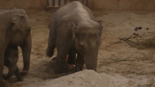 Various shots of the newborn baby elephant stands next to her mother May Tagu after she was born on Christmas day at Planckendael Zoo in Mechelen...