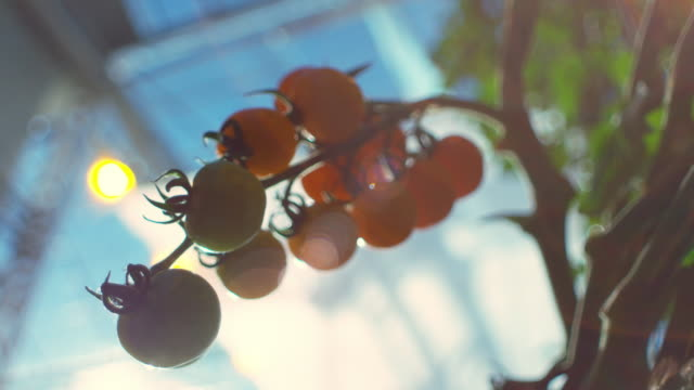 various shots of the sun shining on tomatoes on the vine in a commercial greenhouse - tomato stock videos & royalty-free footage