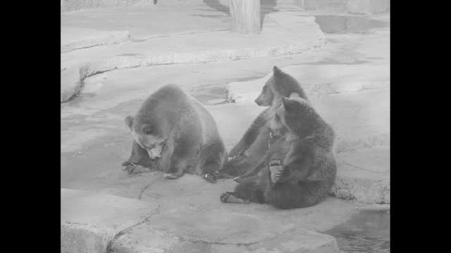 Various shots probably grizzly bears sitting on maybe slabs of concrete one jumps up and plops down as food bits are thrown and are eaten / CU bear...