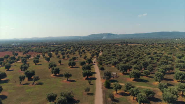 various shots showing vast number of olive trees in puglia, italy - cultura mediterranea video stock e b–roll