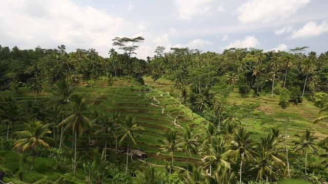 Various shots the Tegallalang rice terraces are seen in Ubud Bali Indonesia on Tuesday Oct 8 2013 Tegallalang rice terraces on October 08 2013 in...