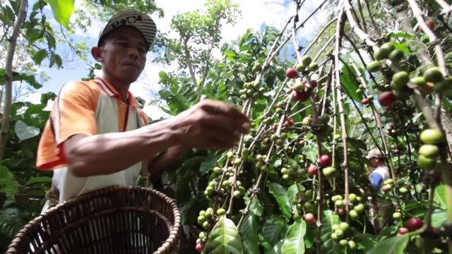 various shots workers pick robusta coffee berries at a coffee plantation in tanggamus lampung province coffee bean harvesting in indonesia on may 31... - coffee variation stock videos & royalty-free footage
