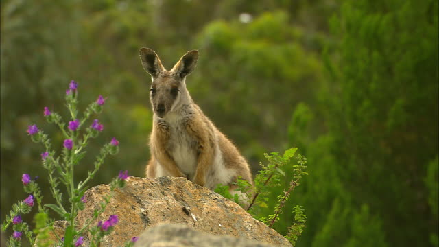 various shots Yellow Footed Rock Wallabys sits on rocky outcrop / wallaby sits in rock ears twitch purple thistle weed in shot / close up wallaby...