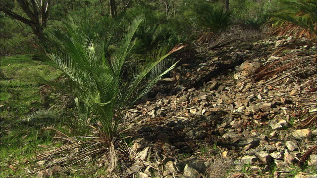 various shots zamia palm cycad macrozamia riedlei plants on rocky terrain in bushland setting including wide shot and close ups of fronds - blattfiedern stock-videos und b-roll-filmmaterial