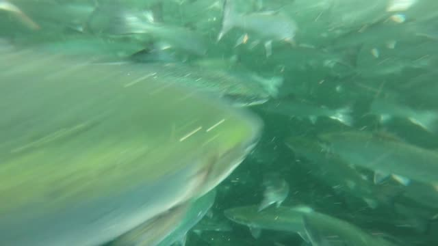 Various underwater shots of salmon fish swimming around filmed with a GoPro camera by a diver as he checks for damage to salmon nets at The Scottish...