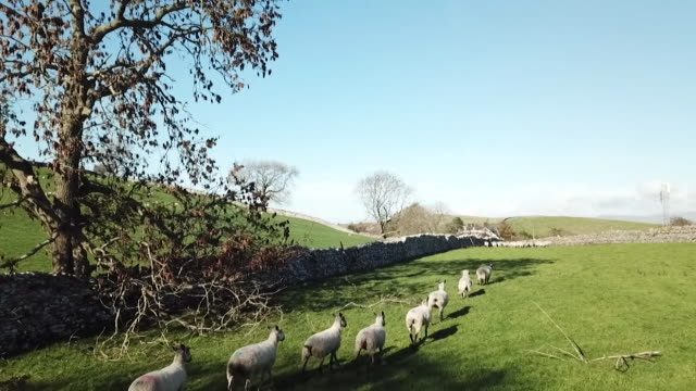 various views of sheep on a farm - variation stock videos & royalty-free footage