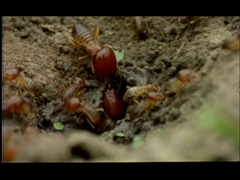 various worker and winged termites emerging from hole, nagarahole, india - animal mouth stock videos & royalty-free footage