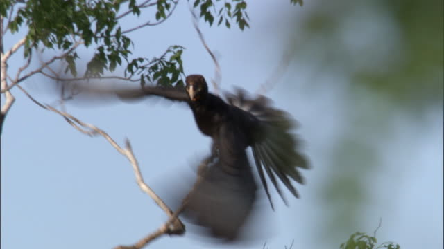 "stockvideo's en b-roll-footage met vasa parrot (coracopsis vasa) flies from tree, madagascar - ""bbc natural history"""