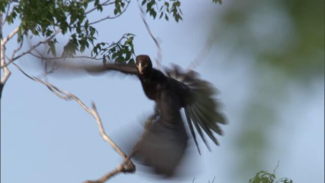 "vasa parrot (coracopsis vasa) flies from tree, madagascar - ""bbc natural history"" stock videos & royalty-free footage"