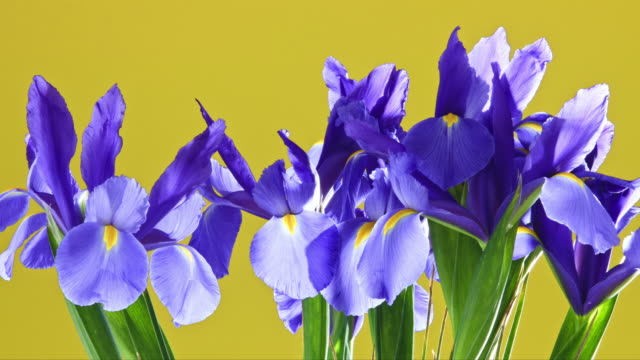 a vase of iris flowers slowly rotating as they blossom and open into a vibrant array. - david ewing stock videos & royalty-free footage