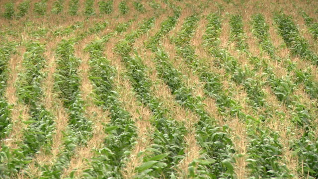 stockvideo's en b-roll-footage met vast expanded of corn - manitoba