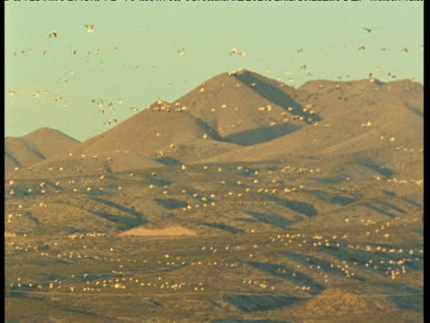 Vast flock of snow geese fly in front of hills, New Mexico