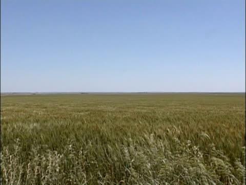 WA vast green/yellow wheat field waving in wind, distant horizon, sunny, USA
