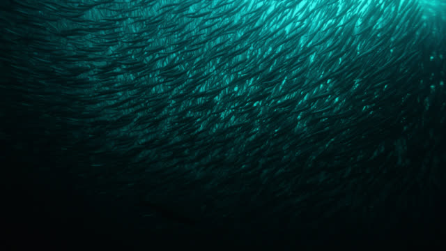vast shoal of herring shimmers, norway - atlantic ocean stock videos & royalty-free footage