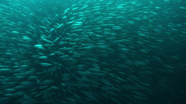 vast shoal of herring shimmers, norway - school of fish stock videos & royalty-free footage