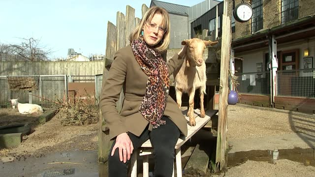 vauxhall city farm excited at prospect of reopening in april; england: london: vauxhall: vauxhall city farm: ext simon garner interview sot reporter... - ecstatic stock videos & royalty-free footage