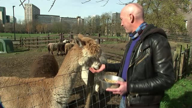 vauxhall city farm excited at prospect of reopening in april; england: london: vauxhall: vauxhall city farm: ext reporter to camera, with goat goats... - ecstatic stock videos & royalty-free footage
