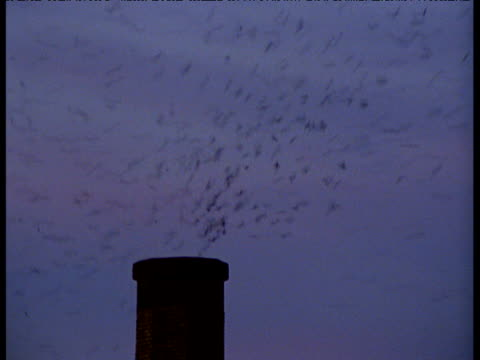 Vaux's swifts pour into chimney roost as night falls, Portland
