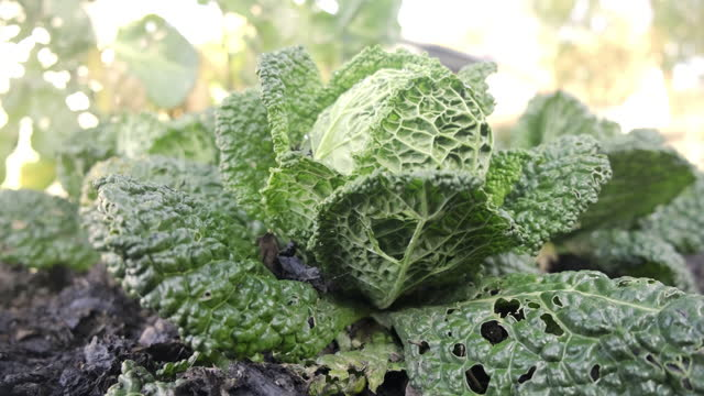 vegetable garden - savoy cabbage stock videos & royalty-free footage