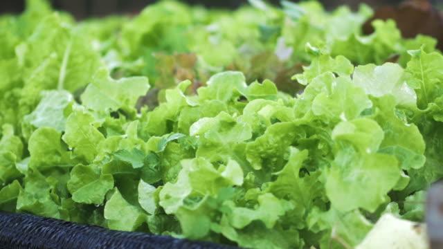 vegetable garden - celery stock videos & royalty-free footage
