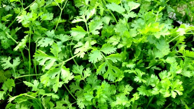 vegetable garden with fresh coriander in the garden in the bed. - coriander stock videos & royalty-free footage