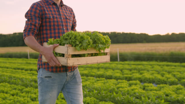 ts ms vegetable grower carrying wooden crate with lettuce - plaid shirt stock videos & royalty-free footage