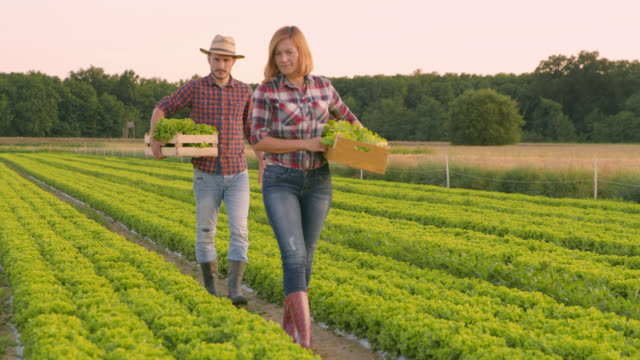 WS Vegetable growers carrying crates with lettuce across a field