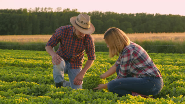 DS Vegetable growers harvesting a lettuce in the middle of a field