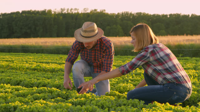 ds vegetable growers harvesting lettuce in a field - sowing stock videos & royalty-free footage