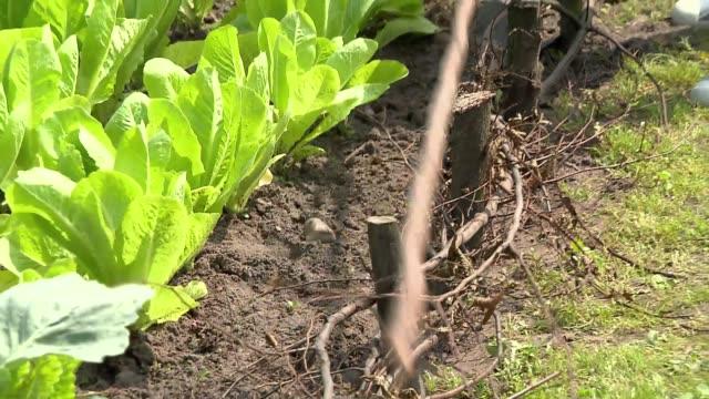 vegetable patch - zweig stock-videos und b-roll-filmmaterial