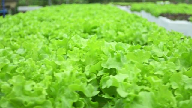 vídeos y material grabado en eventos de stock de ensalada de verduras en granjas hidropónicas - vegetal con hoja