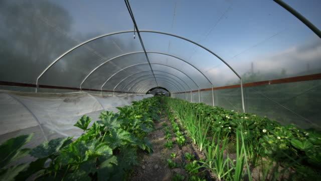 vidéos et rushes de vegetables in greenhouse on organic farm, oregon - légume