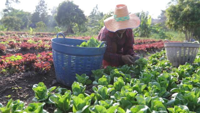 野菜有機水耕野菜キャベツ栽培農家の圃場で - 作物点の映像素材/bロール
